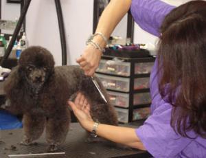 Cursuri Coafor Canincurs Frizerie Caninacurs De Cosmetica Canina
